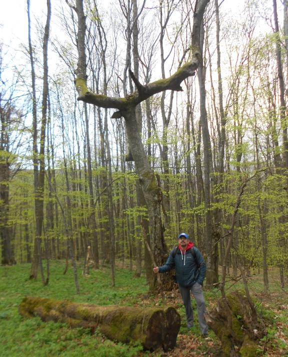Дерево Соловья Разбойника